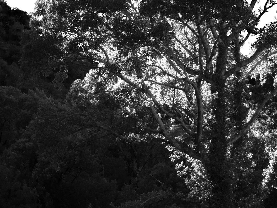 Chateauvert-Tree-01-Ludwig-Haskins.jpg