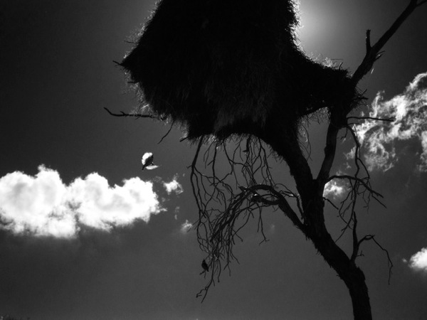 Soc Weaver Nest 08 Ludwig Haskins