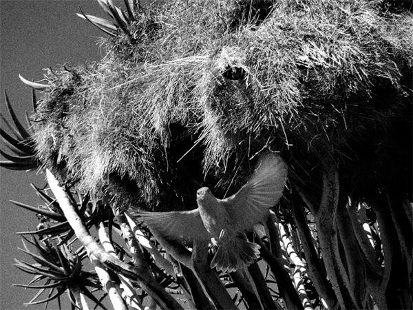 Sociable Weaver CU01 Ludwig Haskins