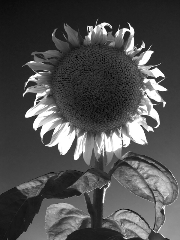 Sunflower 05 Ludwig Haskins