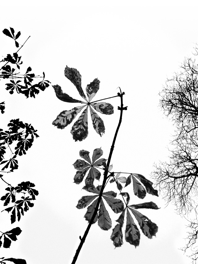 Nonsuch Late Autumn Leaves 01 BW