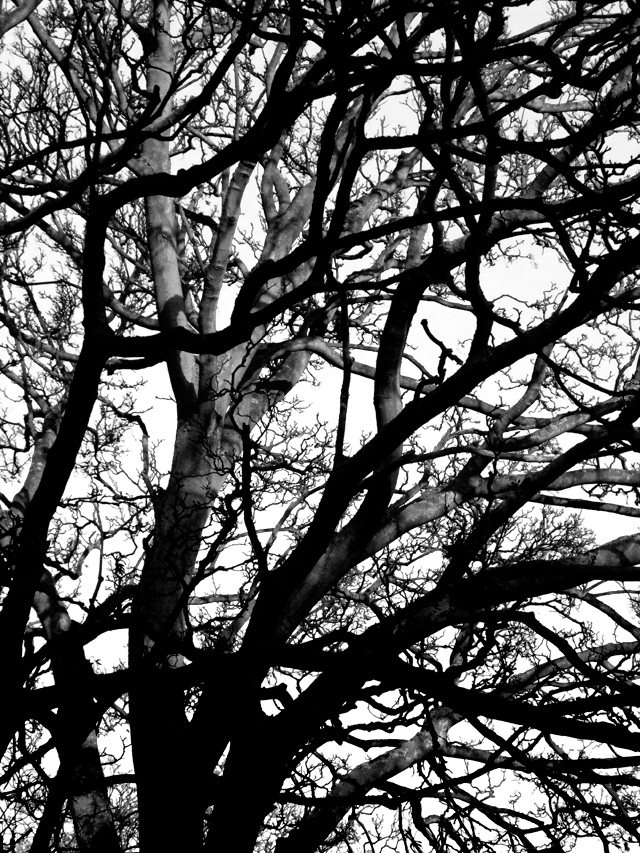 Nonsuch Trees 01 2011 12 09 BW 01 crop